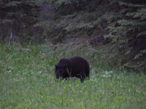 First bear spotted in Kootenay.