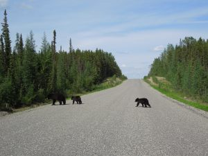 Mama and cubs crossing the road.